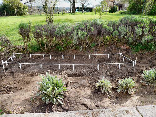 Potatoes planted