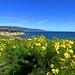 giant coreopsis at the headlands