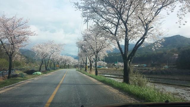 벚꽃 만발한 봄날 | 포도밭 풍경