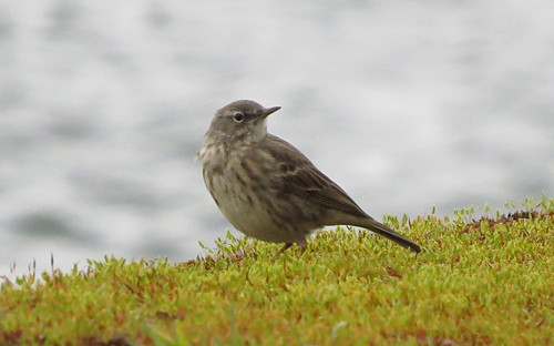 Rock Pipit Anthus petrosus Tophill Low NR, East Yorkshire March 2017