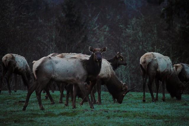 Demon Elk