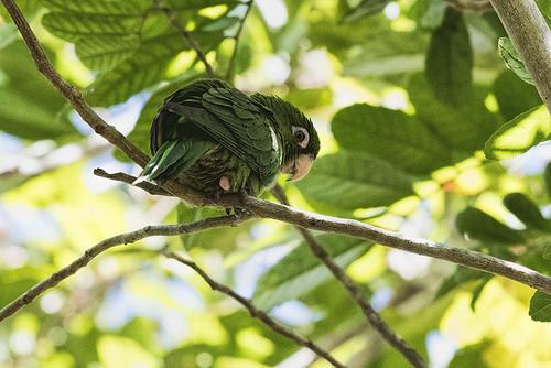Cuba: Cuban Parakeet 2