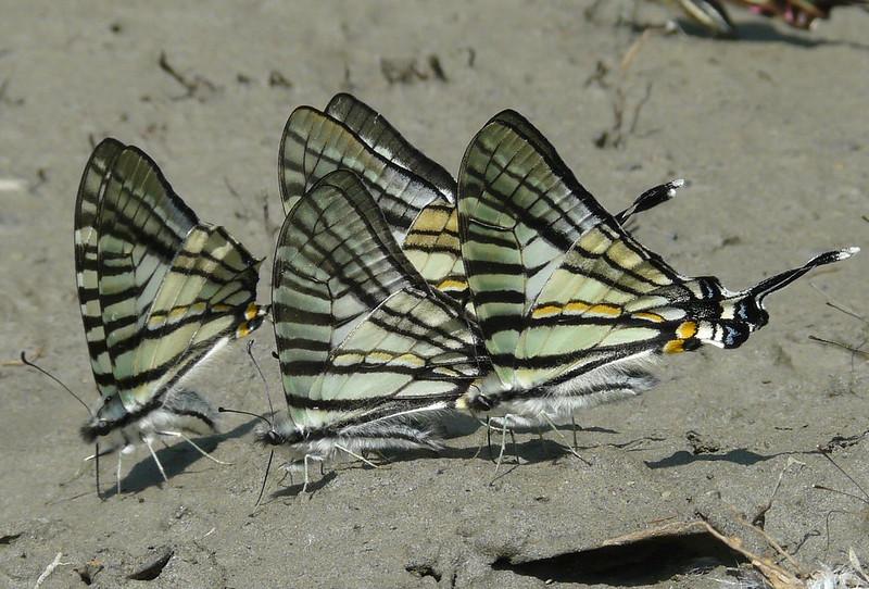 照片2升天鳳蝶是最有特色的一年一代早春型與稀有的蝶種