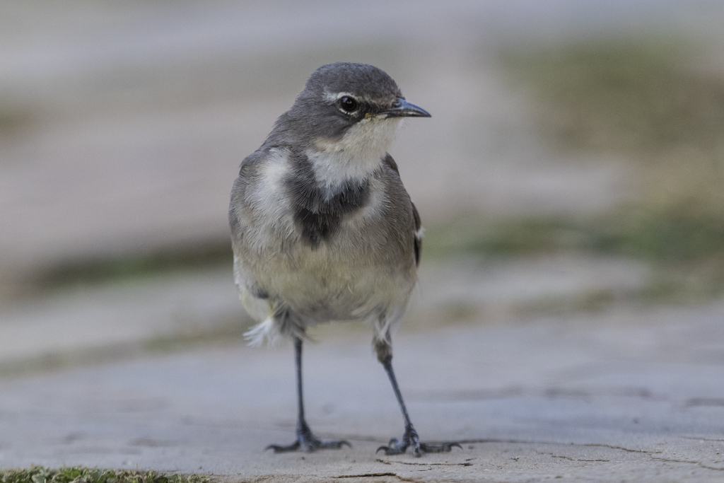 Cape Wagtail  Motacilla Capensis