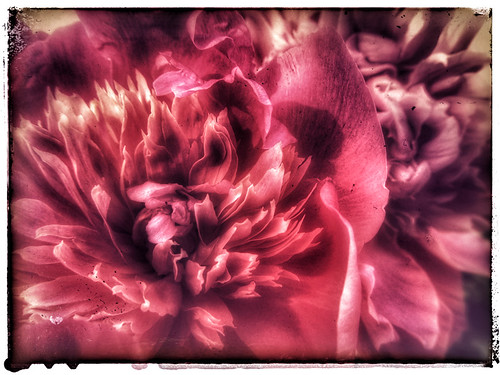 Overblown pink peony in Snapseed