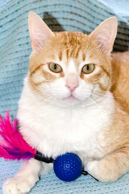 Robin, gato blanco y naranja guapo y súper dulce esterilizado, +inmunodeficiencia nacido en Marzo´15, en ADOPCIÓN ESPECIAL. Valencia. ADOPTADO. 33868310241_3841a15577_z