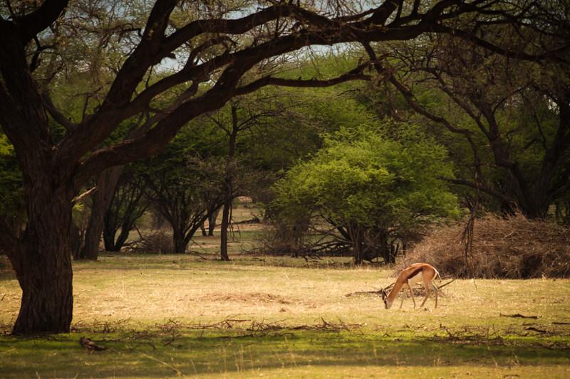 Springbock Namibia Windhoek