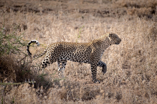 Leopards of the Serengeti | by virtualwayfarer