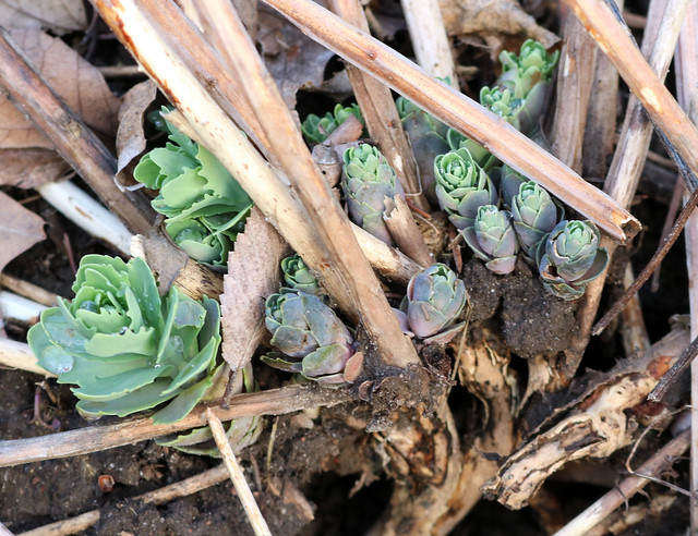 two big green sedum leaves at the left, with a dozen smaller purplish leaves to the right, roots visible in a hole