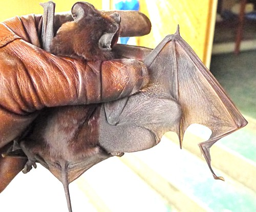 A free-tailed bat!  This was a gorgeous Eumops | by unquenchable.fire