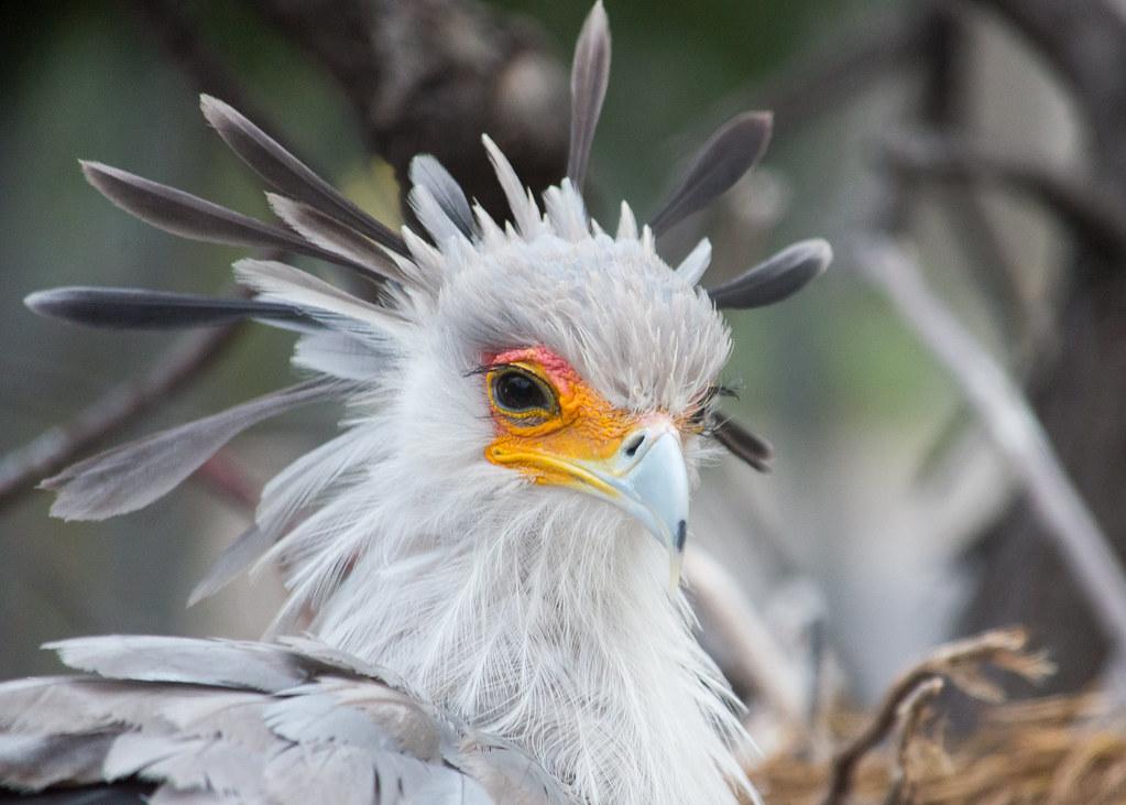 secretary bird  sagittarius serpentarius