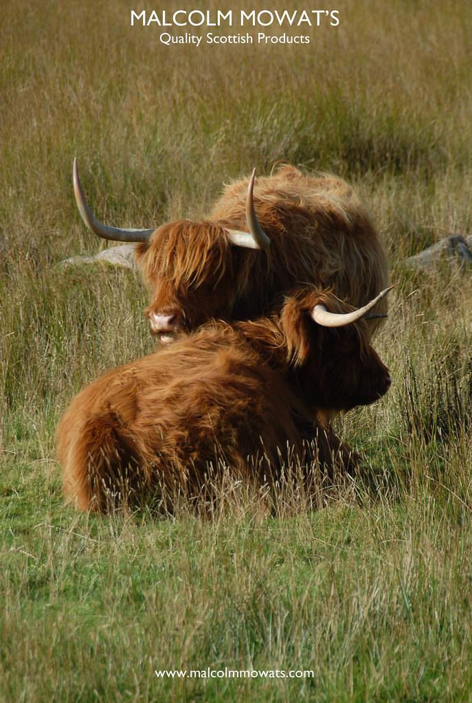 Sinclair Ross – Once A Heifer Essay