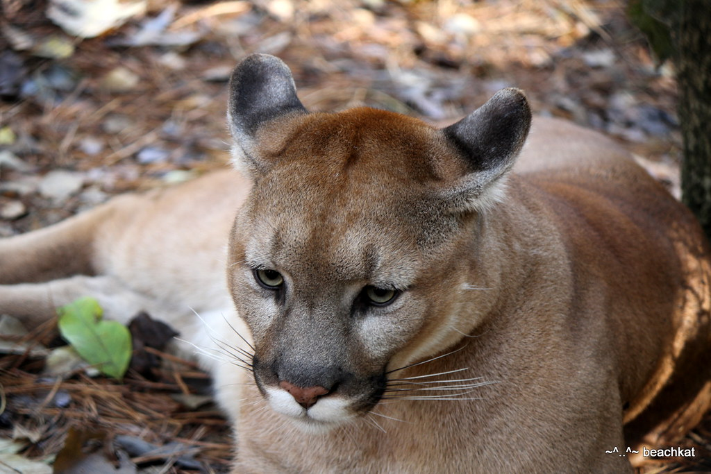 cougar male