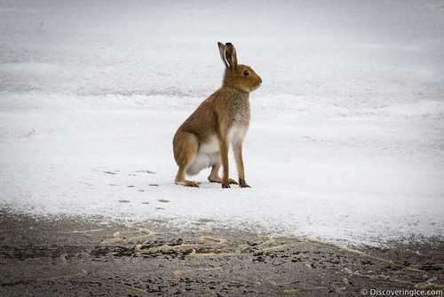 wild hare in the snow 3 | by Stephanie Walsh Photography