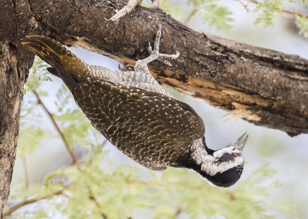 Bearded Woodpecker  Dendropicos Namaquus