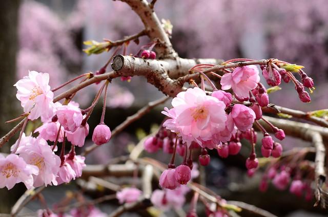 二ヶ領用水の桜