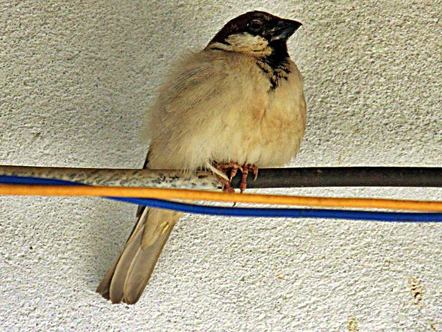 Adorable Sparrow