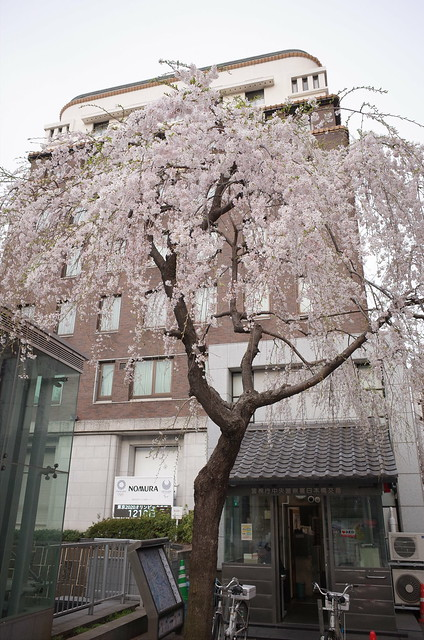 Weeping cherry at Nihonbashi bridge 01