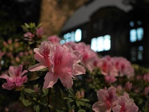 ピンクのツツジと台湾大学の校舎