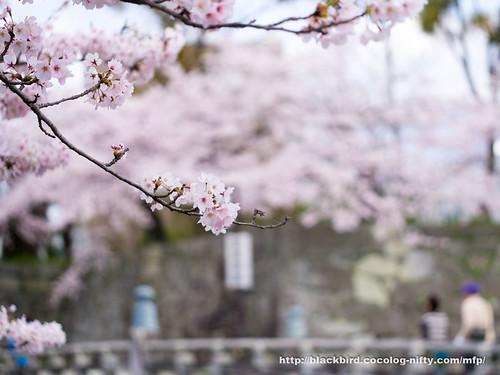 Cherry blossoms #05