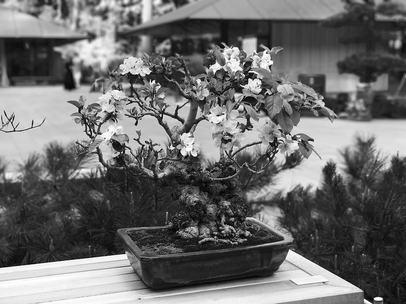 Flowering apple bonsai.