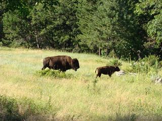 51 bizons
