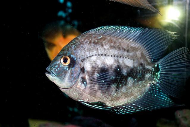 Уару чернопятнистый (Uaru amphiacanthoides), фото фотография аквариумные рыбы