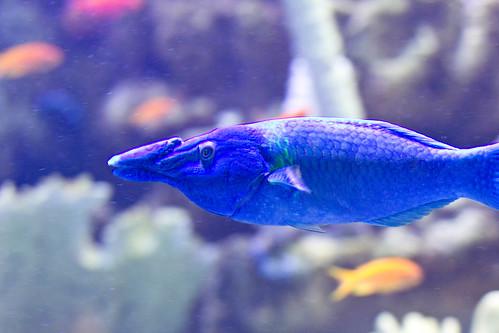 Blue Big Nosed Fish Moodybq Flickr