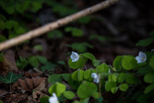 Wood-sorrel