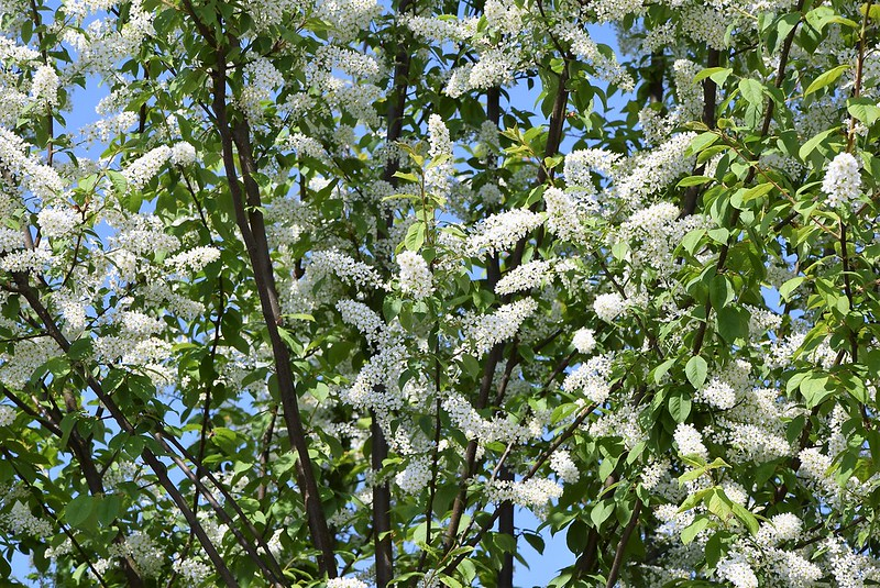 White flowering tree 12.04.2017