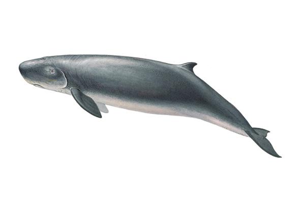 Карликовый кашалот (Kogia breviceps), фото киты фотография картинка морские млекопитающие