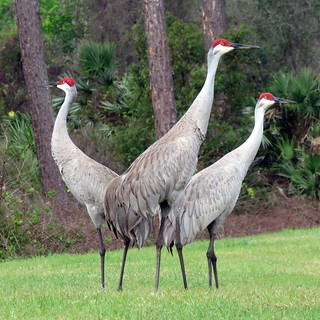 Sandhill Cranes | by Powered By Birds