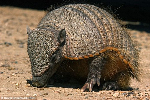 2FAEB2A800000578-3378623-Glyptodonts_are_the_ancestor_of_modern_armadillos_which_can_be_f-a-23_1451471631131