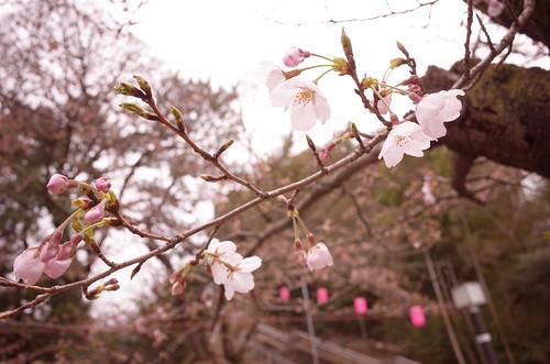 Chiba Inohanayama sakura blooming 02