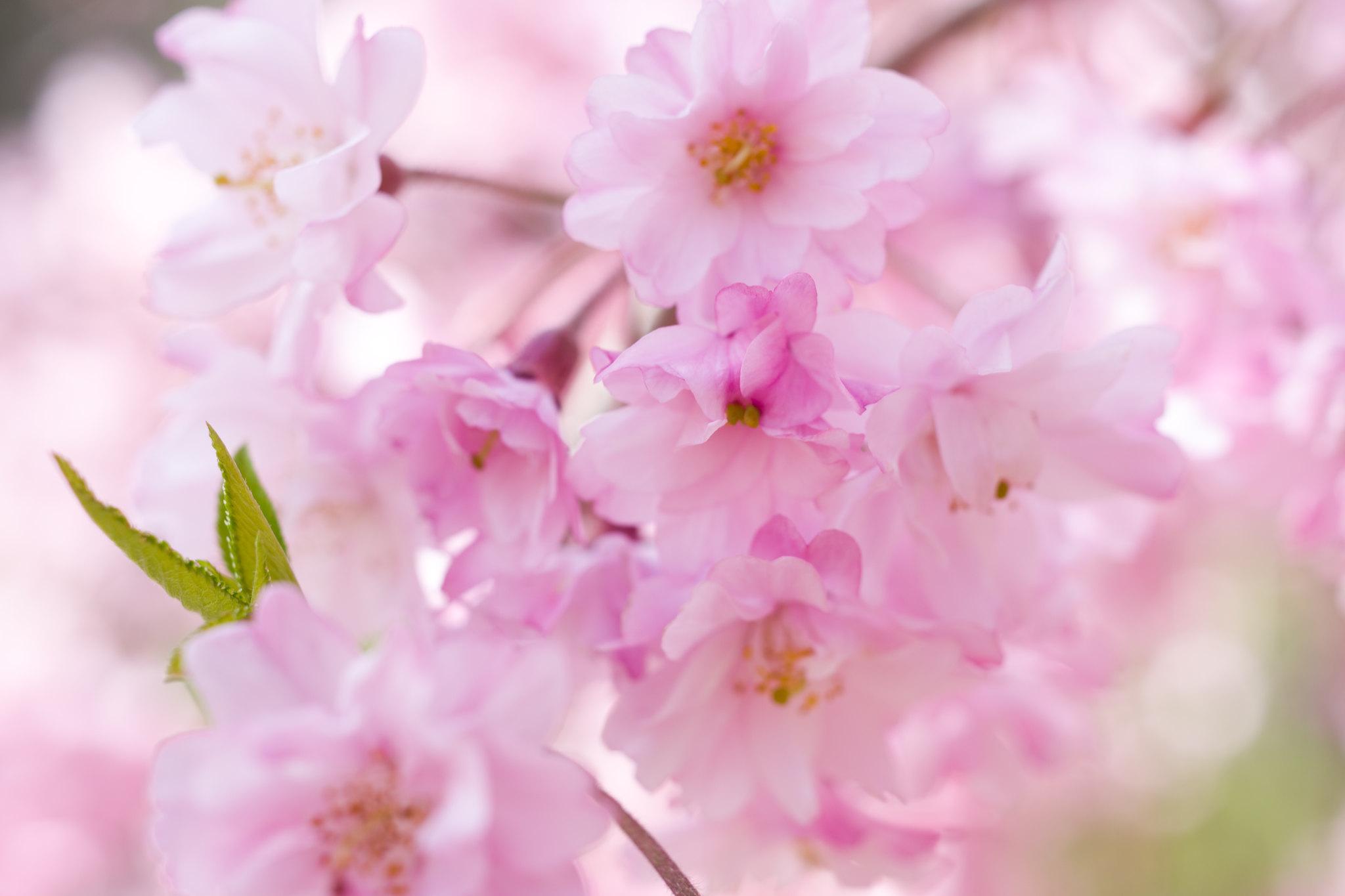 枝垂れ桜満開