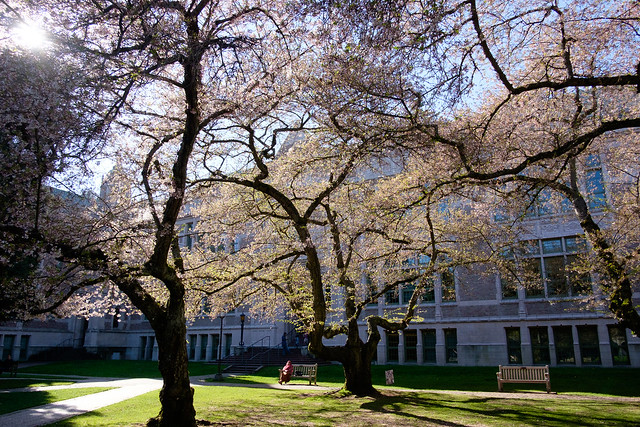 Cherry Blossoms - Seattle-7