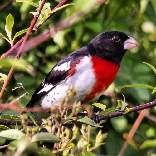 Rose-breasted Grosbeak. Photo taken at Vassar Farm.  #birds #instabirds #most_deserving #birdsofinstagram #natureonly #ilovebirds #best_birds_of_instagram #igbirdfreaks #birdphotos #birdphotographs #nature #naturephotos #ilensdaily #wildlife #wildlifephot | by EidamPhotography