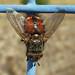 Tachinidae * Mosca ajedrezada * Tachina Sp.