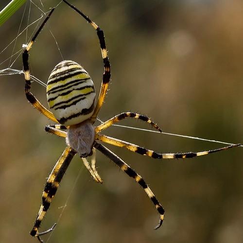 Fasciata Spider Argiope Fasciata Spider