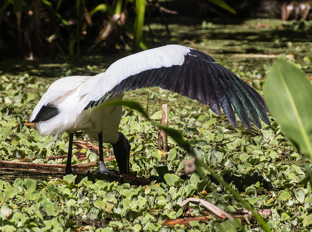 wood stork 091_658