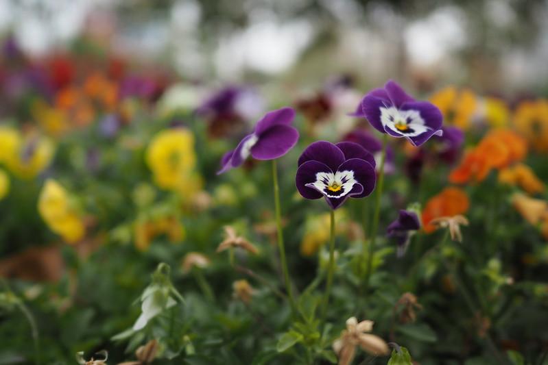 Flowers|OLYMPUS E-PL8