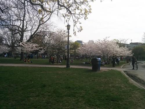 Sakura of Trinity-Bellwoods, 1 #toronto #trinitybellwoods #parks #spring #cherryblossom #sakura