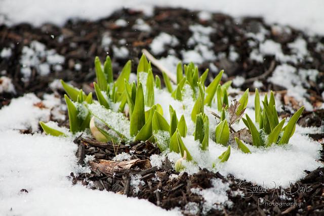 Snowy Daylilies