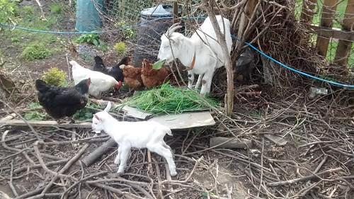 New goat babies Apr 17 3