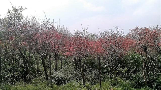 平菁街楓葉剛紅 (1)