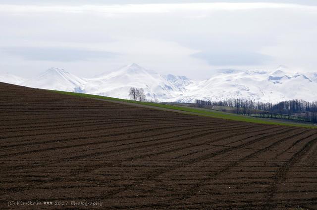 春まき小麦