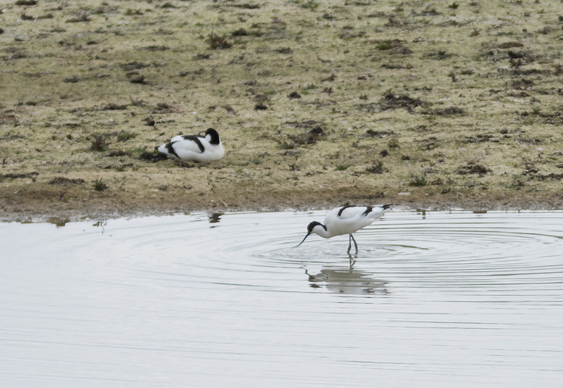 Avocets, Broom GP, 13th April 2017