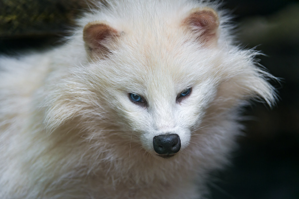 Cute White Raccoon Dog Another Portrait Of One Of The