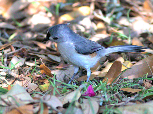 Tufted Titmouse 04-20170306
