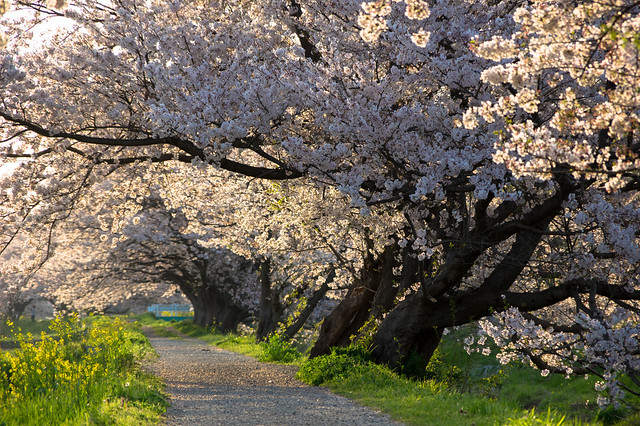 宮代町の桜並木